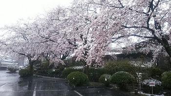 雪と桜1.jpg