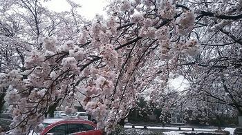 雪と桜2.jpg
